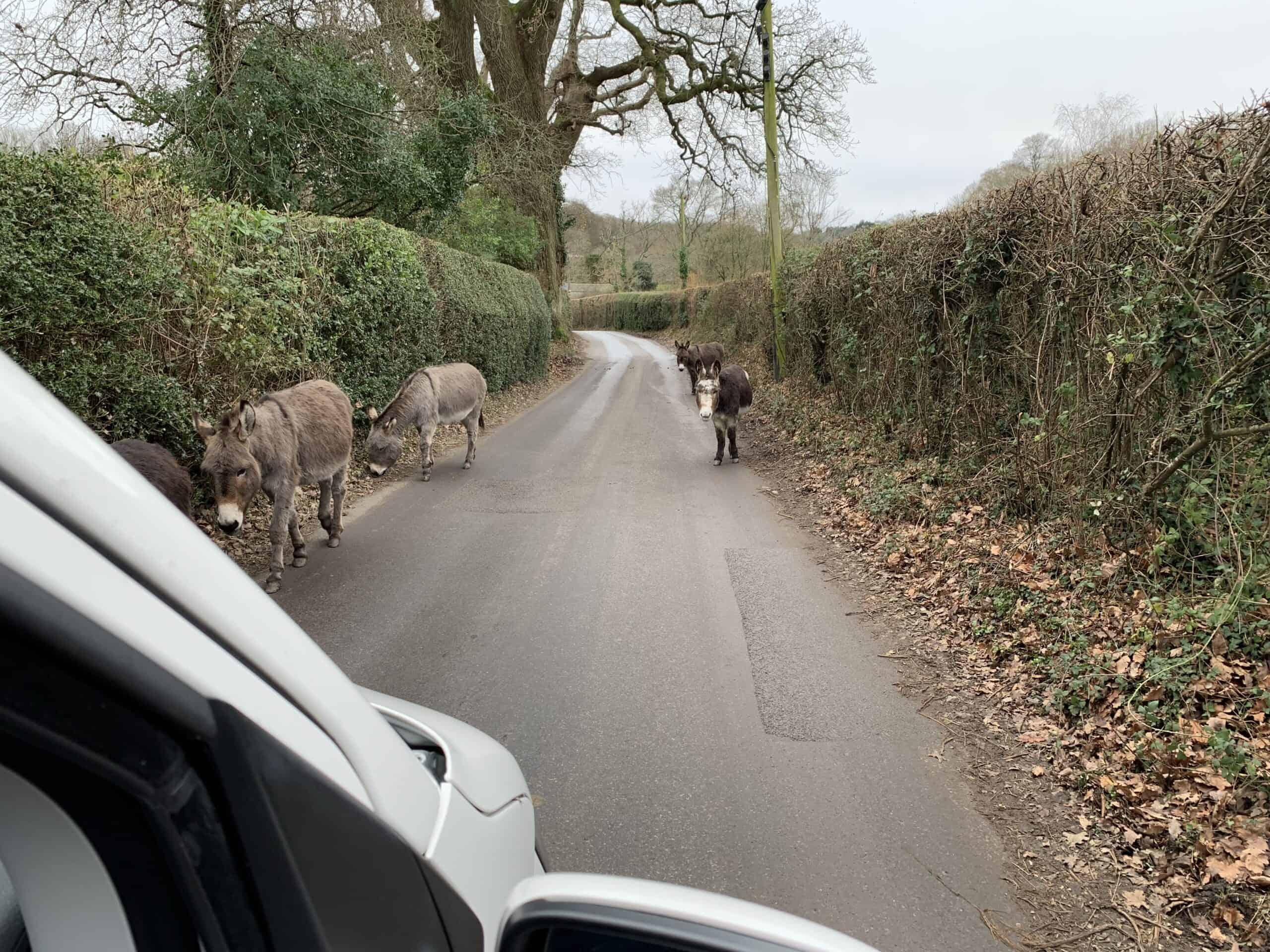 Donkeys in the road in Dorset