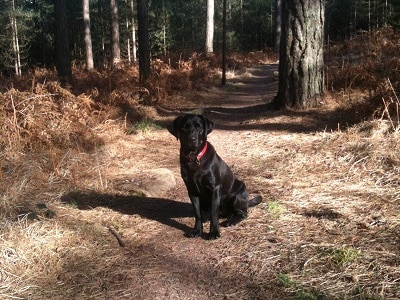 Saffie the dog in the New Forest