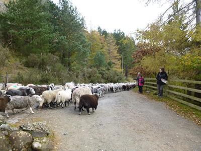 Sheepherding down Hellvelyn