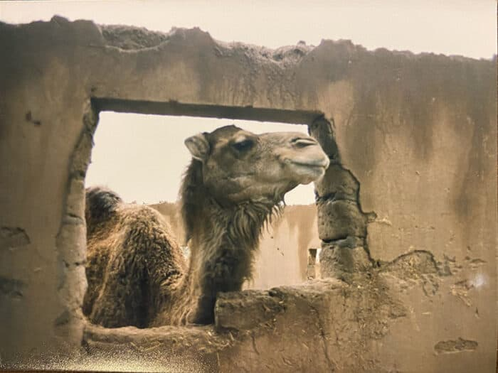 Camel looking through a window in the Sahara